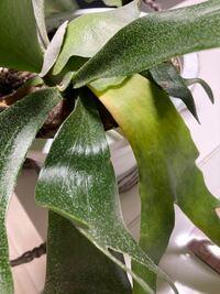 ビカクシダの葉が黄緑色になってきました。 いつも東向きの窓辺に吊るしてあります。  最近は雨が多く湿度も高いので水も1週間に一度位でした。表面が気持ち乾いているかなぁ位です。 水のあげなさすぎで水切れでしょうか? 葉の寿命?  よろしくお願い致します。