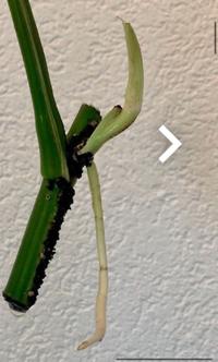 このモンステラの茎から生えている上側の白い部分は根でしょうか。それとも芽でしょうか。 出品者は2本の根が、と言っていますが 私には芽に見えます。 もし芽だとしたら1週間以上水に浸かっていたら腐ってしまいますか?  詳しい方がいたら教えてください。