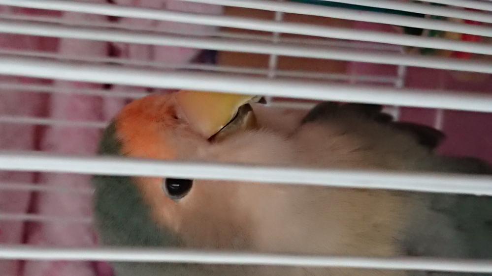 コザクラインコの鼻の穴が通常よりよく見え、近くの毛が濡れて束になっているように見えるのですが、風邪や他の感染症等を疑うべきでしょうか? 二週ほど前から繁殖期に入っていて、期間中は常時ケージのすみで産卵のポーズをとっているのですが、放鳥すると元気に動き回り、手に乗る際の握る力もいつもと変わらない感じが致します。今まで風邪を疑って病院を受診したことがありません。早期に動物病院を受診するべきなのでしょうか?