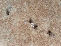今年になって突然玄関に写真のような羽アリ?のような虫が大量発生しています。 原因または対応方法が分かる方いますか?