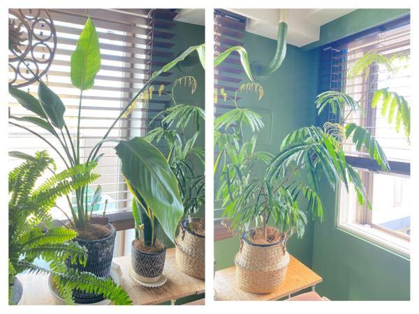 ストレチアとエバーフレッシュの鉢サイズについてです この二つの植物が勢いよく成長をしているのですが、 植物の背丈が伸びると、鉢サイズはそれに合わせて大きいもの変えたほうがよいでしょうか? 今後大きくなるのを見据えて、何号サイズが1番適切でしょうか? 背丈は両方とも103cmあり、鉢は直径20cmくらいのものを使ってます