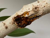シェフレラ 樹液かカイガラムシか シェフレラを室内に置いています。 葉や枝にオレンジ〜茶色の樹液のようなものがついています。 気になって剪定したのですがカイガラムシでしょうか?