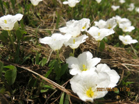 園芸種の名前を教えてください、 岐阜県美濃加茂市で、 撮影20210529