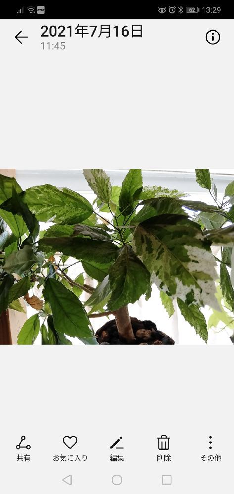 写真の植物の名前を教えてください。 調べてみたんですがわかりません。 室内で育てていて、葉はひらひらして薄くて単葉、鋸歯、斑入り、互生だと思います。 よろしくお願いします。