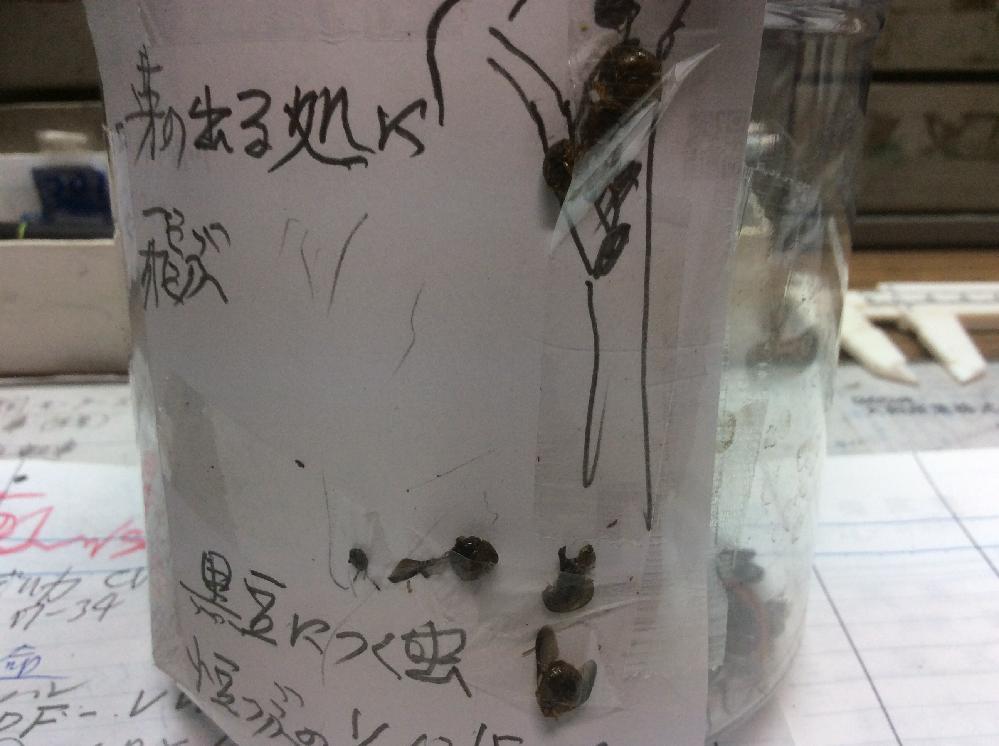 黒豆を育てています。 丸くて固いてんとう虫のような黒い虫がいっぱいいます。 この虫は何て言う虫ですか。 ご存知の方、教えてください。 よろしくおねがいします。