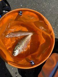 東京湾で釣りをしていたところ写真の魚が釣れました サイズは15cmほどで、身がしまっていました なんという魚でしょうか?また、食べれるものですか?
