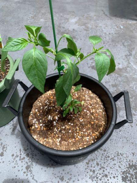 ホームセンターで買ってきたトウガラシの苗を育ててます。 イマイチ成長が遅いというかこれはいつ頃から実がなりだすんでしょうか? 何かアドバイスあらばなんなりとお願いします。