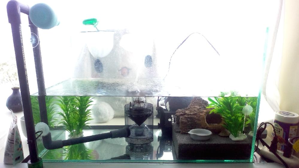 カブトニオイガメ(以下亀)の飼育についての質問です。 現在の状況は以下の通りです ・60cm水槽においてベビー(3cm程)を飼育しております。飼い始めて2週間程になります。 ・亀はカルキなど抜かなくて大丈夫、ペットショップなどの元の環境で抜いていたのならその通りにしたほうが無難、水質の変化が負担になる。との事であったので飼い初めにカルキ入りに切り替えたところ、無事適応してくれた様です。元気に餌もよく食べています。 ・エサはよく食べていてカメプロスの沈下性を朝夕2回7粒程与えています。 ・水槽内にはフィッシュレット(物理ろ過目当て)と水作 タートルフィルターL2を導入しております。 ・水槽内の構成は画像の通りです。 この亀の飼育についてこれまで飼育の経験がなく、不明な点があったので質問致しました。以下の点が疑問に思いました。 ・食べかすなのか脱皮した皮なのかうんこなのか、水中に軽いゴミがふわふわしています、沈むごみはフィッシュレットがとってくれていますが、水中に漂うゴミはどう対処すればよいでしょうか?タートルフィルターL2はゴミをあまり吸着してくれてないのでしょうか?現在上部フィルターの設置か外部フィルターを導入しフィルター内を物理ろ過と吸着ろ過のみのろ材に絞り運用し生物ろ過を使わず水道水で洗ったりの運用を考えていますが改善するでしょうか?なにかおすすめも教えて頂けますと幸いです。 ・フィッシュレットを改造してごみを排水するシステムを使って毎日1/4程の水を毎日交換し2・3週間に1回水を全部抜いてフィルターや水草を水道で全部丸洗いしています。また漂っているごみや端っこのゴミも気になるので網ですくったりスポイトですくっていますが掃除の仕方は間違っていないでしょうか?おすすめなどがあれば教えていただきたいです。 ・また文章や画像から改善したほうがいい点や注意、おすすめをお教えいただけますと幸いです。