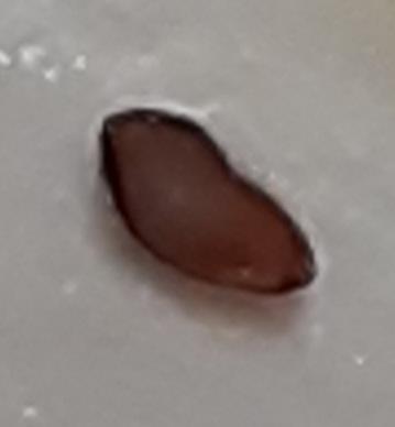 小麦粉にこのような黒い粒がいくつか入っていました。 これは食べたらいけないやつですか?