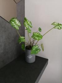 植物にお詳しい方、教えてくださいm(_ _)m この観葉植物の名前と、この植物はこんな風にヒョロヒョロとした伸び方をするのが本来なのでしょうか?  もう少し、茎?の部分が短いのが理想なのですが。  よろしくおねがいします。