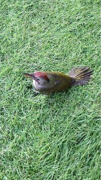 なんの鳥ですか? 家の窓にぶつかって脳震盪おこして芝生にいました  無事に飛んでいきました