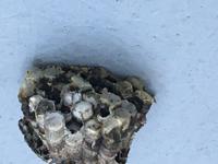 これはアシナガ蜂の巣でしょうか?