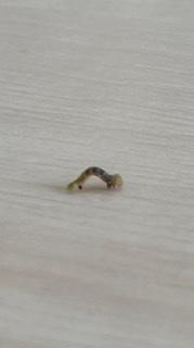何という名前の芋虫かわかる方いますか? 家の中に体長6mm程度で、体の中央部分が縞模様の芋虫がいました。 Googleフォトで調べてみましたがわかりませんでした。 どなたか詳しい方教えていただけないでしょうか?