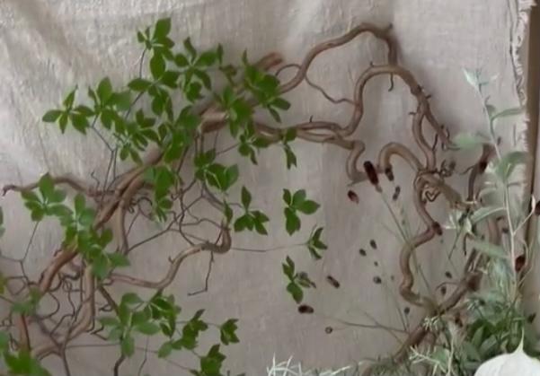 この木の名前を知りたいです。 色々調べてみたのですがどうしても名前がわからず… 一緒に写っている、ドウダンツツジのような葉っぱのあるものではなく、枝が太くうねうねしている方の名前を知りたいです。 ご存知の方いらっしゃいましたらよろしくお願いします。