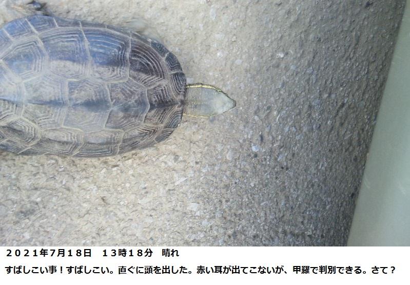 この亀は? 千葉県田んぼの農道で2021年7月18日 発見