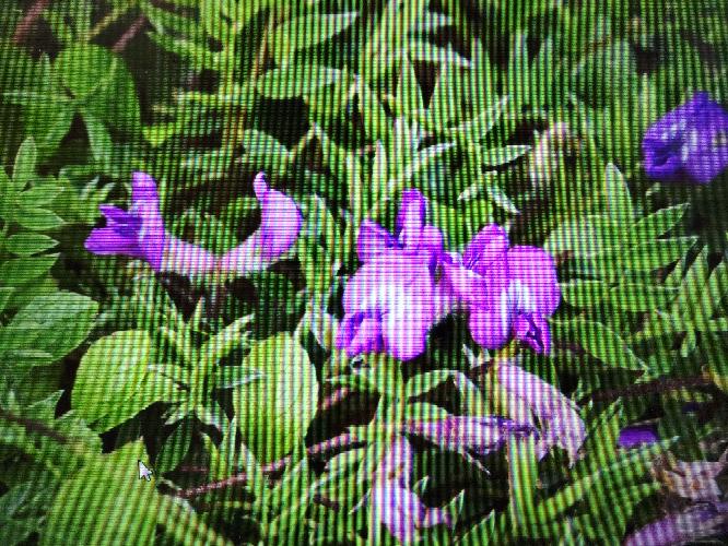 花の名前を教えてください。飯豊山です。