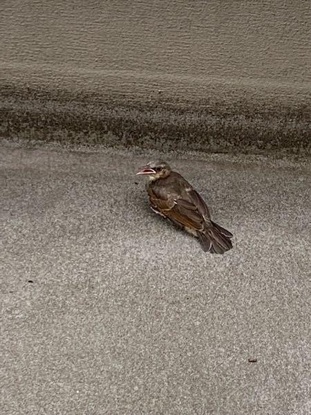 この鳥は何で種類なんでしょうか。 ベランダにしばらくいてて動けないんなら保護したいと思ってます。