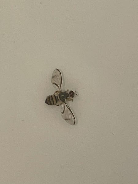 お風呂に入ろうとしていたら、風呂蓋にこの虫が居ました。 死んでいる様子で動かず、私は虫が苦手なので恐怖でお湯で流してしまいました。 この虫はなんという虫なのでしょうか?