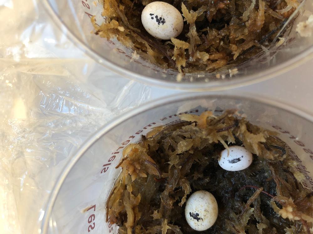 質問失礼しますm(_ _)m カナヘビの卵についてなんですが、1週間前に卵を発見しました。 いつ、カナヘビが産んだか分からないのでいつ孵化してくるのかが分からなくて困っています。 卵は結構大きいです。1cm以上は多分あります。有精卵です。 どなたか後どれくらいで孵化するか分かりますか?後、水苔にのせて管理する方法でよろしいでしょうか? 写真は分かりづらいですが、一応のさせて頂きます。分かりづらかったら、言っていただければまた撮ります。 回答よろしくお願い致します。