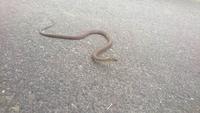 この蛇は何という種類の蛇でしょうか?