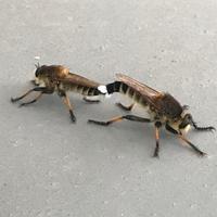ベランダにこのような虫がいました。トンボでは無いようです。どなたか教えてください?