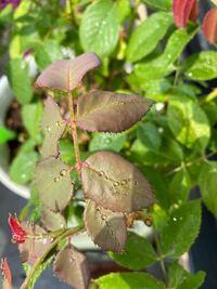 バラについて。 バラの新芽が元気ないです。昨日までは普通だったのですが、今日見たら新しい葉が少ししおれていて、触ってみてもなんとなく葉にかたさがなくなっています汗 バラゾウムシもアブラムシも見つからなかったです。 原因は何でしょうか?分かる方よろしくお願い致します。 ちなみに鉢植えしています。