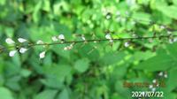 花の名前を教えてください、 岐阜県美濃加茂市杁ヶ洞池で、 撮影20210722