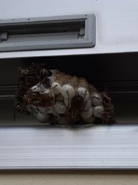 この蜂の種類はなんでしょうか。駆除した方が良いでしょうか。