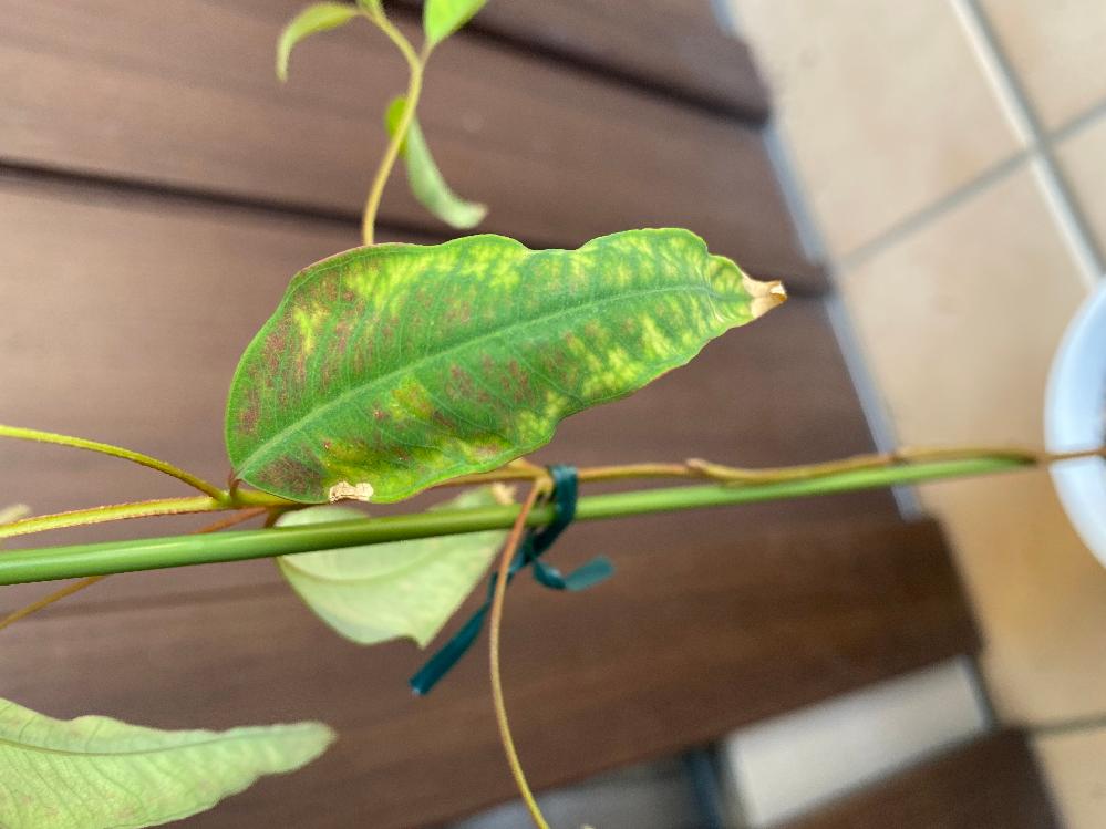 ユーカリ プンクタータを育て始めたのですが、葉っぱがこのように変色してしまうのは病気でしょうか?? ユーカリを育て始めたばかりでよく分からないので教えて頂けると助かります。