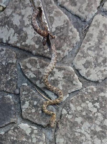 実家にいました なんという蛇かわかりますか?