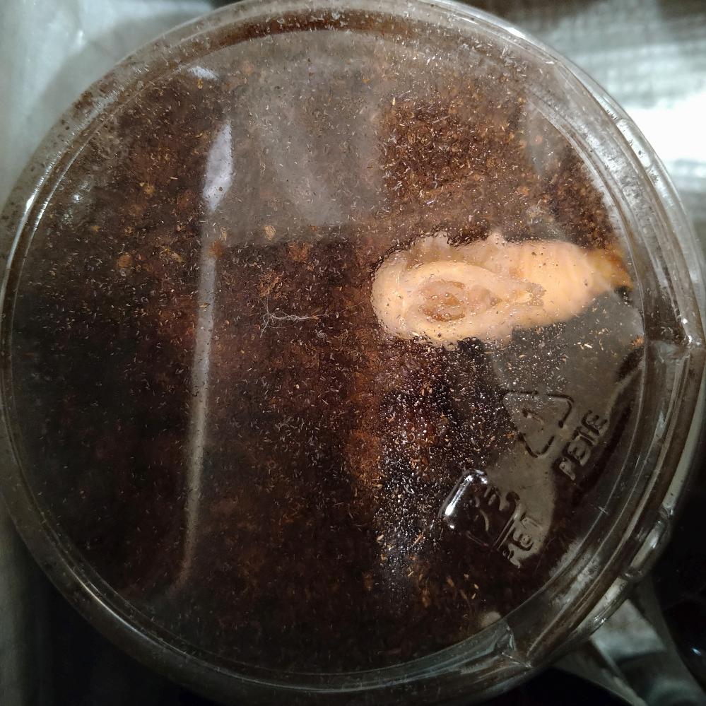 ノコギリクワガタの蛹について プリンカップで個別飼育中の10頭程の幼虫のうち1頭だけマットの上で蛹になってしまいました。 今までの経験ではマットの底で蛹になり、夏から秋にかけて羽化し翌年の春過ぎに活動開始するパターンでした。 このままマットの上で無事に羽化できるのでしょうか? また、羽化できたとしたら翌年までの休眠期間はどのようにするのが良いでしょうか? 初めての出来事なので戸惑っております。 経験のある方のアドバイスをいただけると助かります。 宜しくお願い致します。