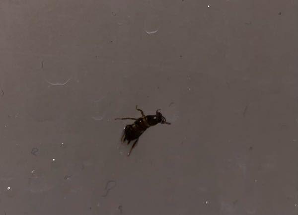 これってゴキブリの赤ちゃんですか? またゴキブリの赤ちゃんだった場合 他にもいる可能性が高いですか?