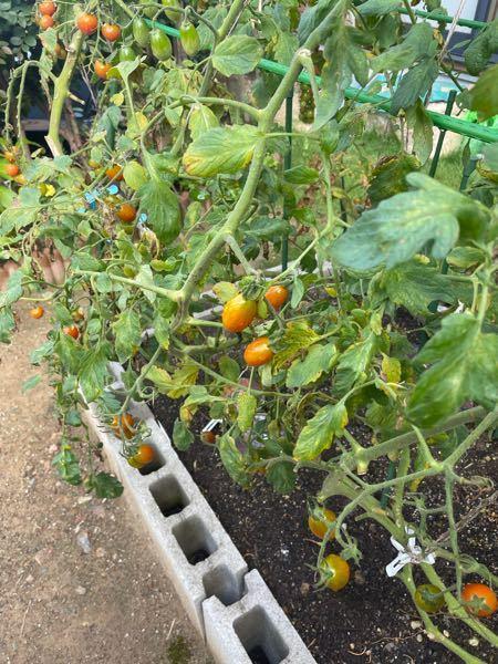 ミニトマトです。先週まで元気でしたが今週から部分的に葉が枯れてきました。病気でしょうか?