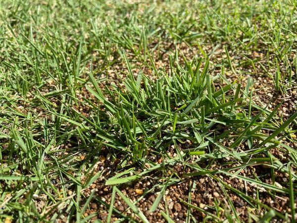 写真にあるのは、先日購入した補修用高麗芝生です。 質問したいのはその周りの元々いた元気のない芝たちです。 補修用芝を貼って、周りの芝との健康状態が明らかに違うことにびっくりしています。 今までは、ある程度緑だし、禿げてらんし、とそこまで手入れしてなかったとはいえ、危機感を覚えました。 補修用芝は、葉が広く、濃緑、葉が寝ていないで立っている。 一方庭の芝は、葉が細く(水切れで丸まってるわけではない),色も薄く、寝ている。 質問としては管理による ①立つ芝と寝る芝の違い。 ②色が薄い芝と濃い芝の違い。 ③葉が細くなってしまう原因 この3点が知りたいです。 施肥などは化成肥料で元気のないときにあげていたのですが、今年は上手く育ちません。 何が悪いのか 錆病?など色々調べましたが、そこまでの色合いでもないし、、と悩んでおります。 よろしくお願いします