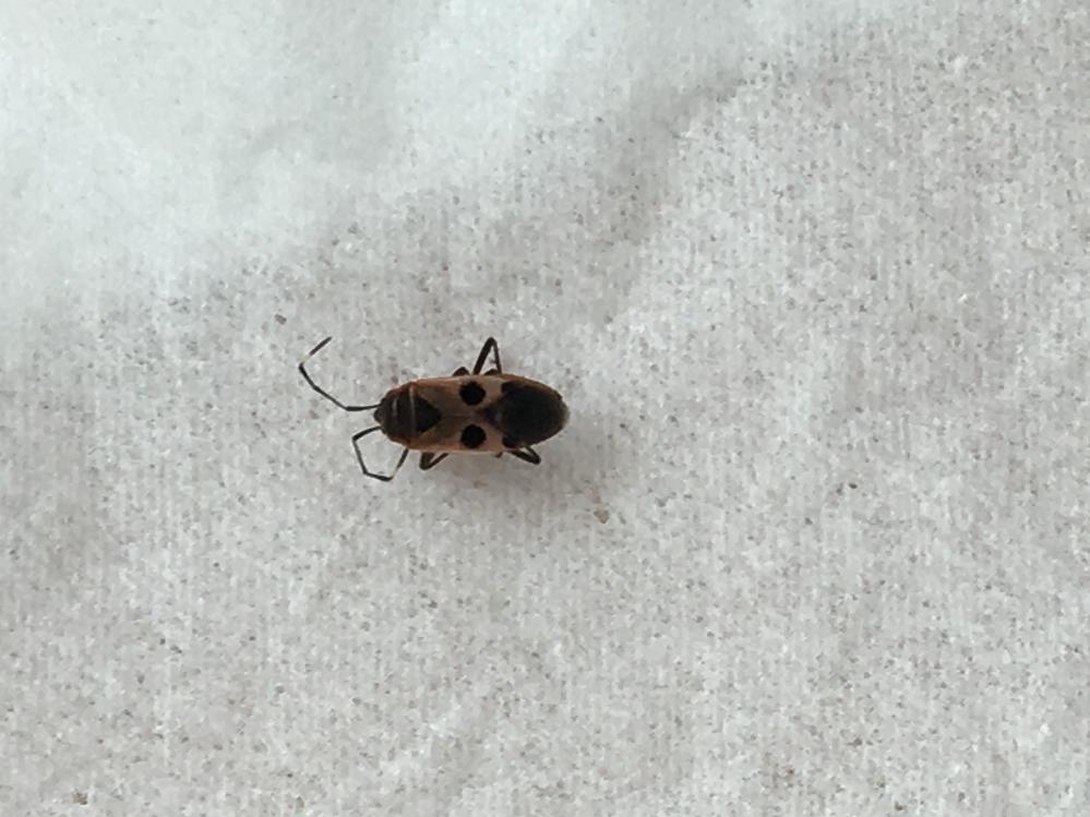 この虫が何かご存知の方いらっしゃいますか? 大きさは4〜5ミリです。