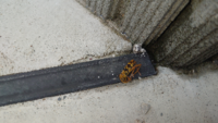 玄関と2階のベランダに写真の蜂が死んでたのですが何の蜂か分からないので知ってる方いらっしゃいましたら教えてくれませんか? お願いします。
