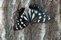 このチョウの名前をご存じの方、教えてください。