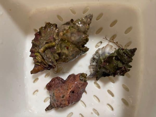北海道積丹で息子が採ってきたんですが、 これらはなんという貝ですか?