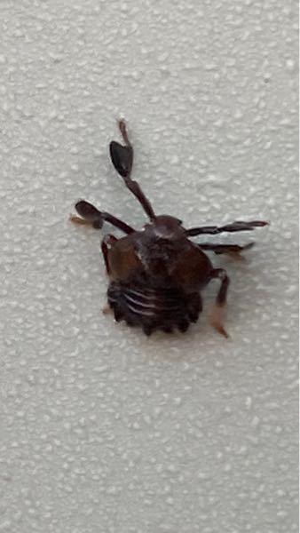 この蟹のような虫はなんですか? サイズは大きめの蟻くらいです。