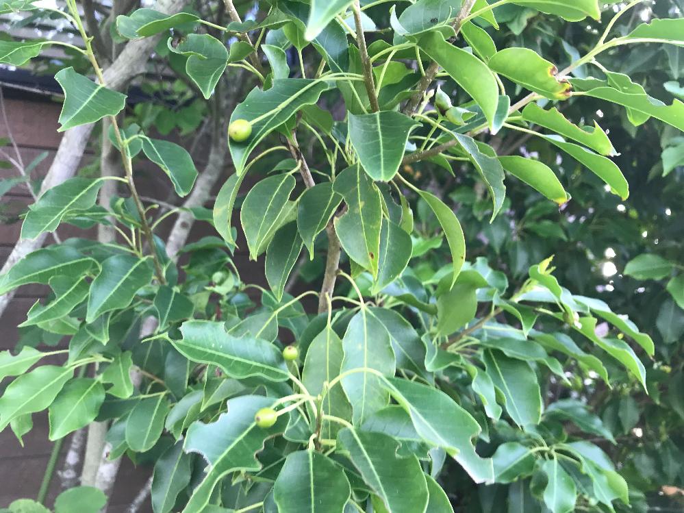 この樹木は何という名前ですか? 小さい実のようなものがなっています。