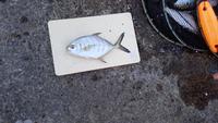 この魚の名前を教えてください。シマアジの仲間なのは分かるのですがシマアジではないようですので。
