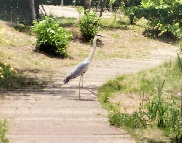 画像がハッキリしないので 見にくくてすみません 5月に関東地方の公園で見た鳥です ずーっと動かず、最初見た時 作り物かと思うくらいじっとしていました どうしても名前が知りたいです どうぞよろしくお願いします