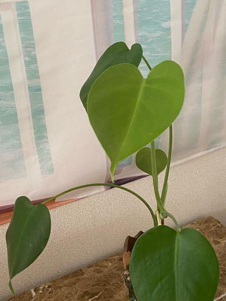 この植物なんですか? モンステラ買った時に隣にいました