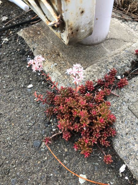 コンクリから生えてる植物 この植物よく見かけるのですが、なんという植物ですか?