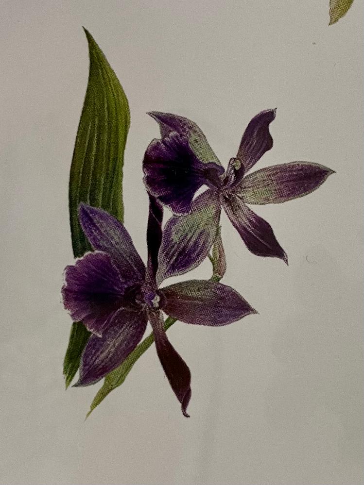 この蘭の花の名前を教えてください。