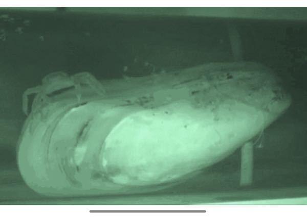 この貝の名前を教えて頂けませんか? 貝の上にいるカニはカクレガニ(全長約1.5cm)です。