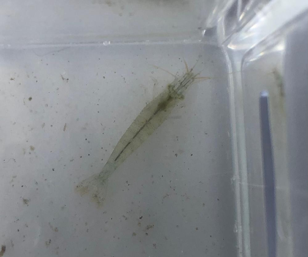 用水路で見つけました。 このエビの名前を教えてください。 目が白っぽいです。