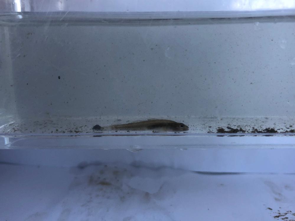 用水路で見つけました。 この魚は何ですか?