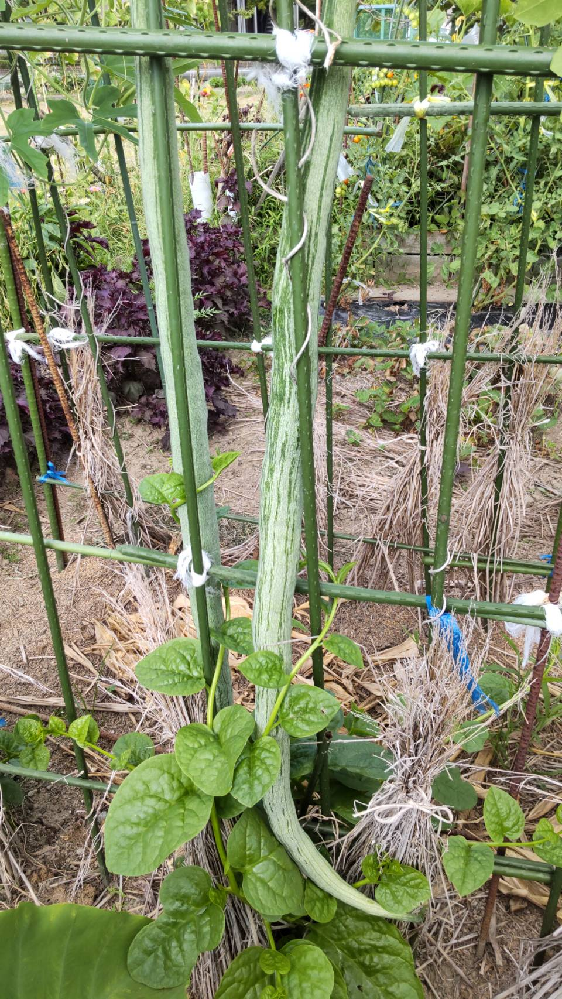 これは今年の5月初めに植えたカボチャです。何カボチャか、忘れてしまったのですが いつ頃が収穫なのか、どう、調理するのか わかるかた、教えてください