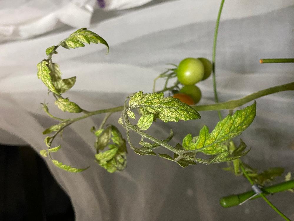 ミニトマトの葉っぱについて ミニトマトの葉っぱが急に写真のようになってしまいました。 昨日までは普通に緑で、元気そうでした。変わったことといえば、朝8割残っていた液肥が夜には空になっていたことです。 病気なのでしょうか?こうなってしまった原因やこうした方がいいよ、など教えていただけたらうれしいです。 よろしくお願い致します。